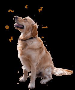 Harvey, the Golden Retriever