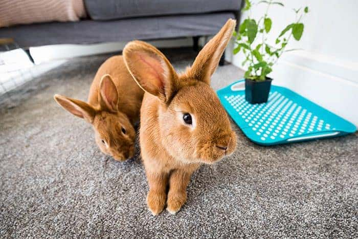 How to be a gold-star indoor bunny owner