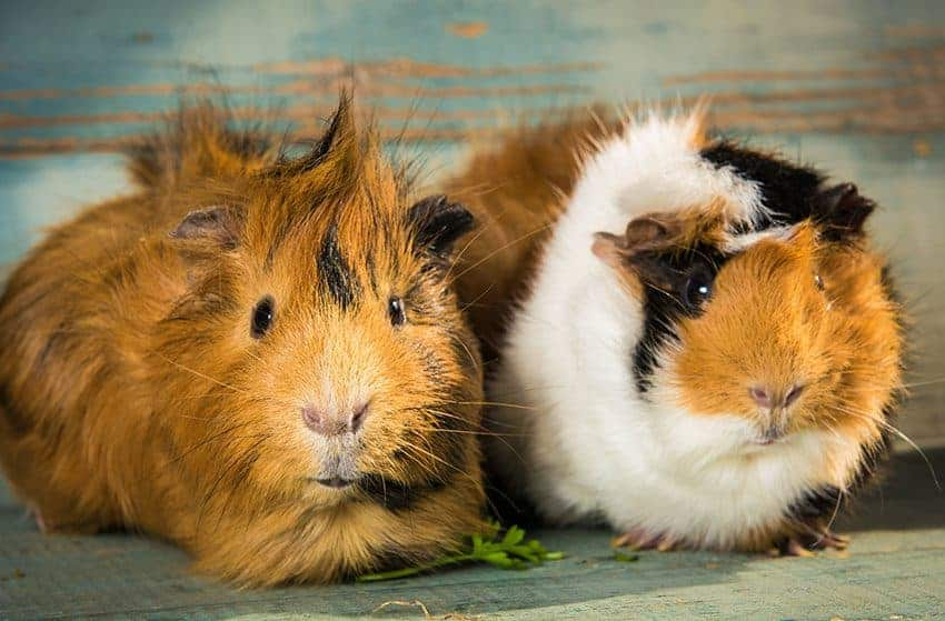 Have your guinea pigs had their vitamins today?
