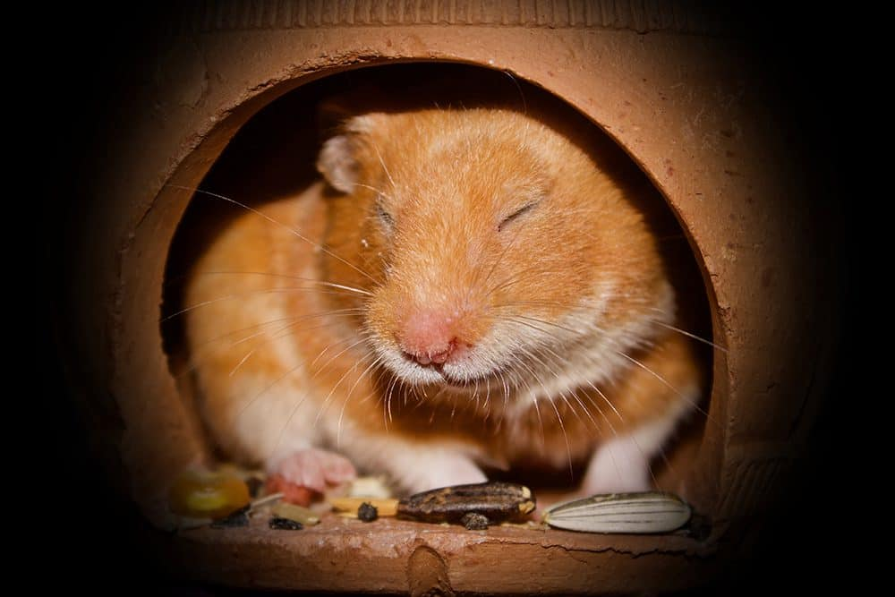 Not all hamsters are the same