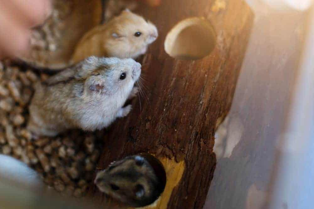 True or false? How well will you score in our fun hamster quiz?
