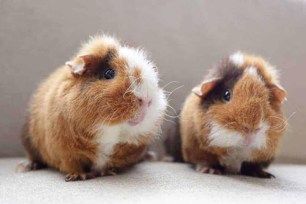 Guinea pig health and top tips