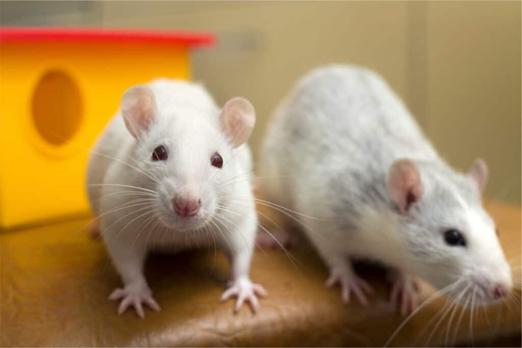 rat-food