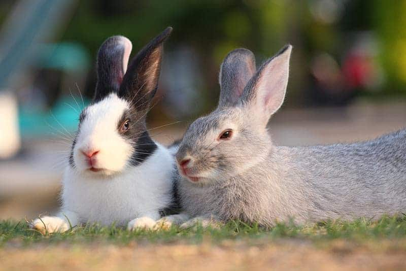 A black _ white and grey rabbit lying next to eachother