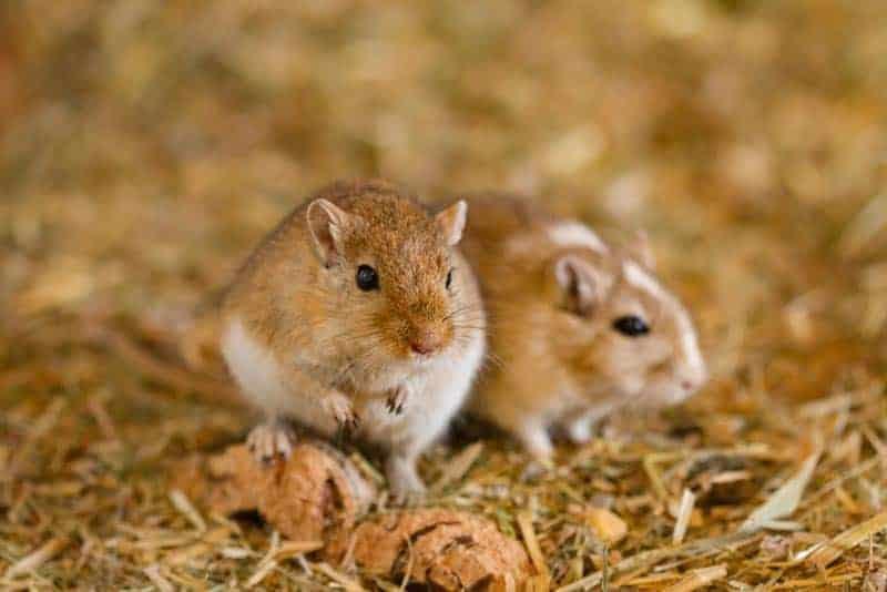 A pair of gerbils