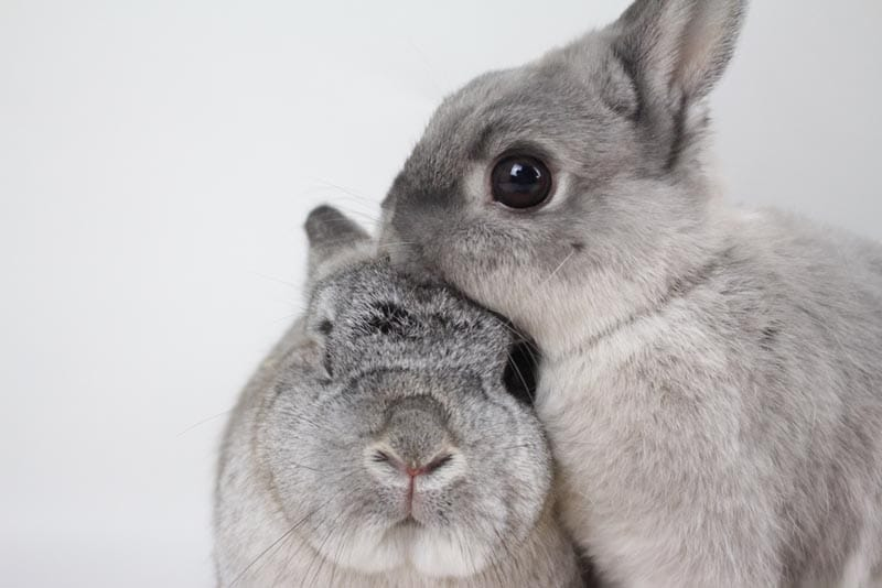 A pair of grey rabbits