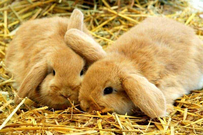 A pair of rabbits lying on hay