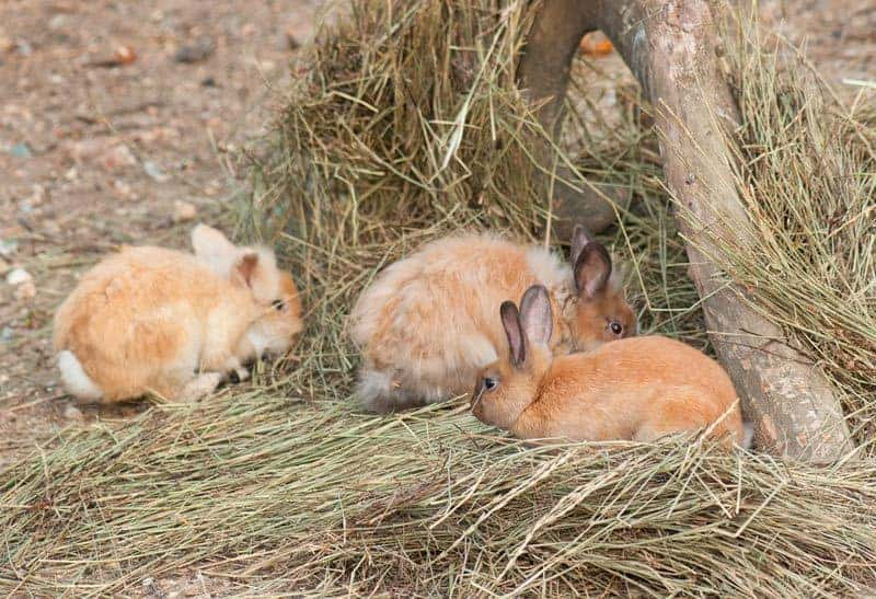 Group of rabbits eating hay