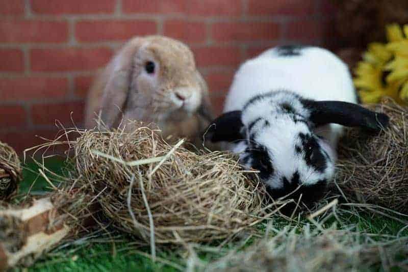 Rabbits outdoors eating hay
