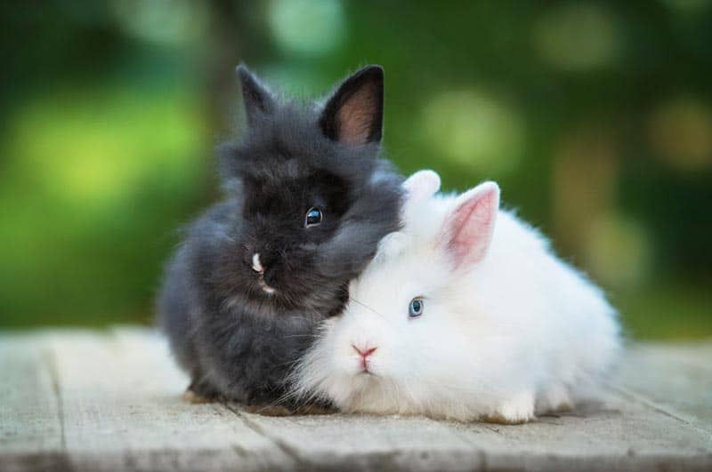 Two angora rabbits