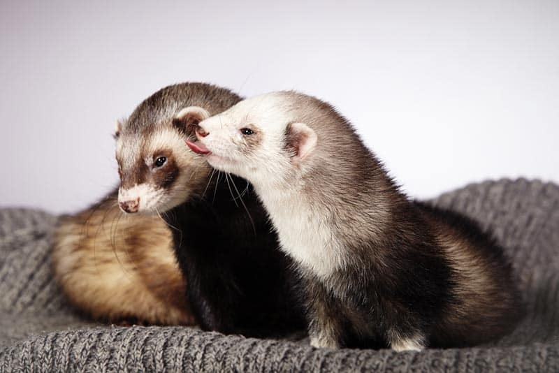 Two ferrets nuzzling eachother