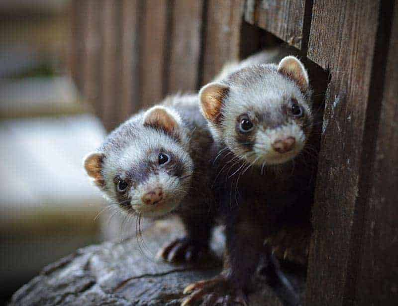 Two ferrets poking their heads out
