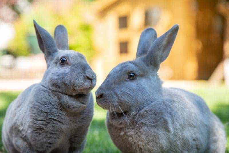 Two grey rabbits