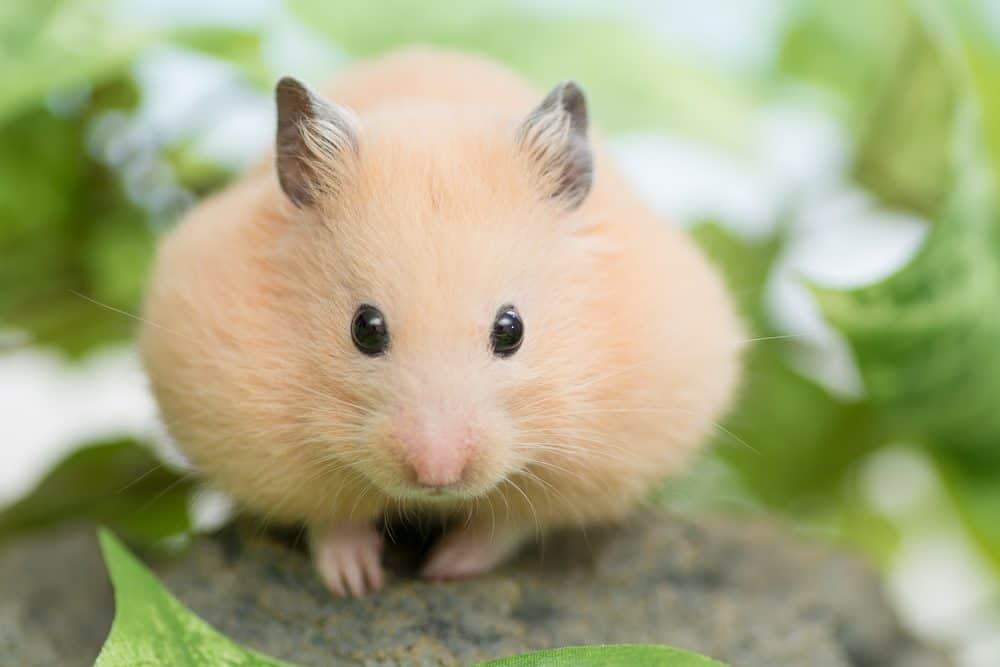 What food can hamsters eat?